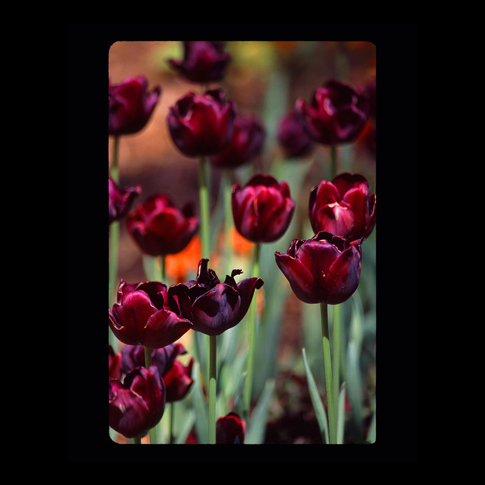 purple-tulips_web