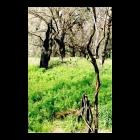 CHARRED TREES